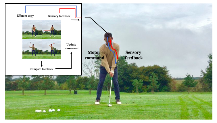 motor learning and golf image explaining how motor and sensory commands are sent up to and down from the brain.